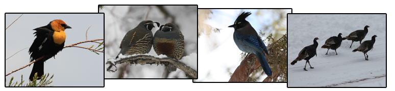 Yellow-headed blackbird, California quail, Stellar's jay, and wild turkeys