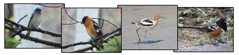 Lazuli bunting, Black-headed grosbeak, American avocet, and Spotted towhee