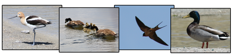 American avocet, Canada geese (not Canadian; they don't have passports!), barn swallow, and mallard
