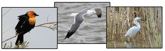 Yellow-headed blackbird, California gull, and Great egret