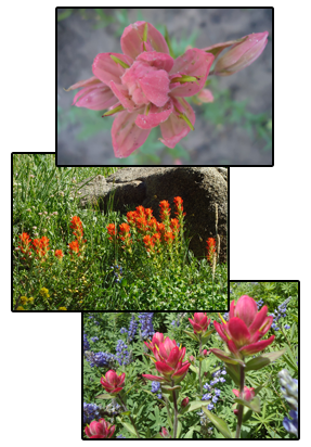 Indian Paintbrush2