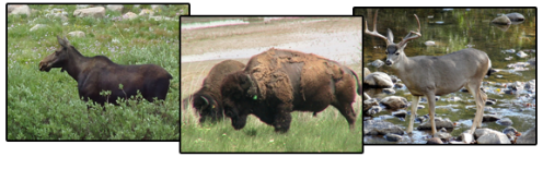 female Shira's moose, bison (Antelope Island), and male mule deer