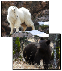 Rocky Mountain goat and black bear